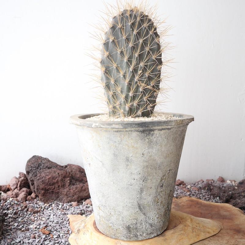 オプンチア    ガラパゴス団扇  no.001 Opuntia galapageia