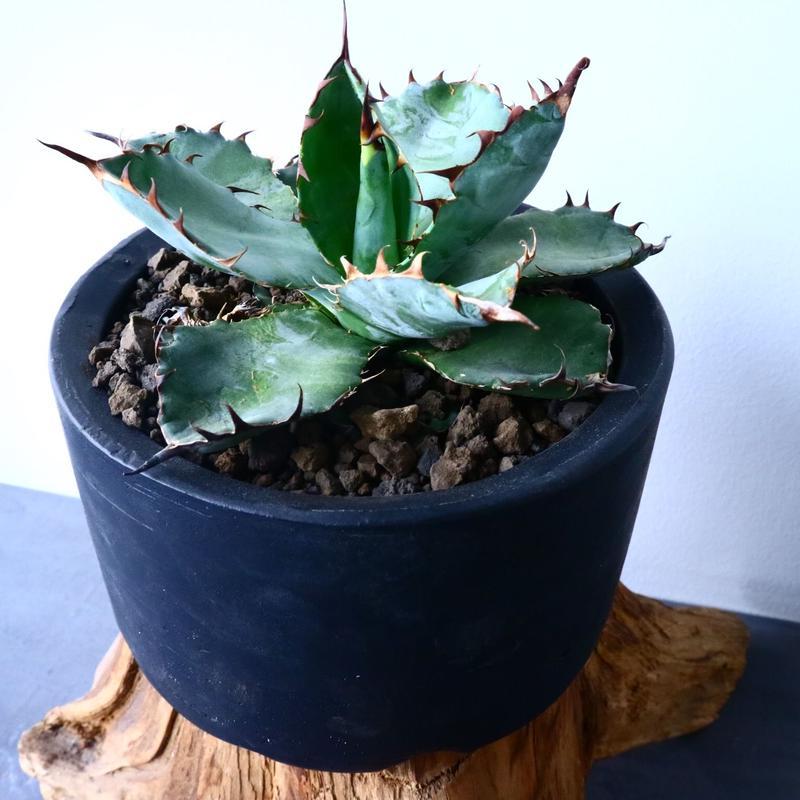アガベ チタノタ ブラック&ブルー  Agave titanota black&bule    No.31015