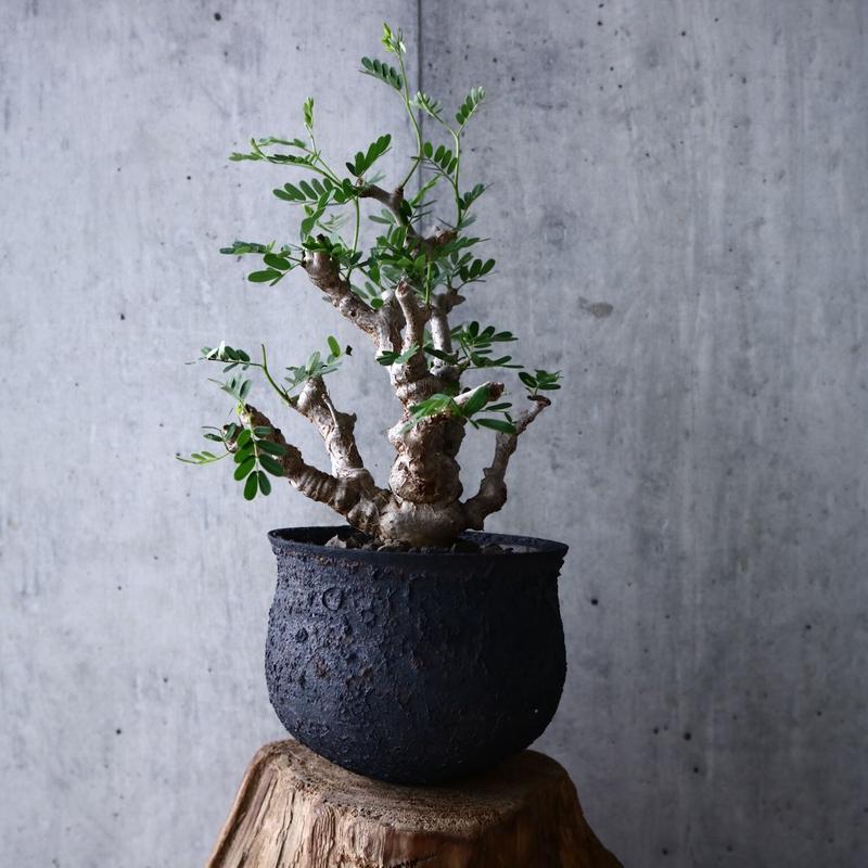 センナ  メリディオナリス   no.002