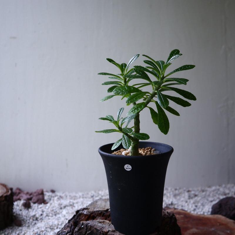 ドルステニア    ギガス   Dorstenia gigas  no.92310