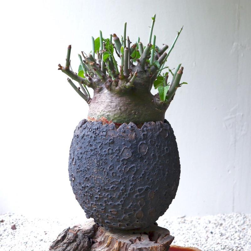 アデニア     スピノーサ    no.005  Adenia     spinosa