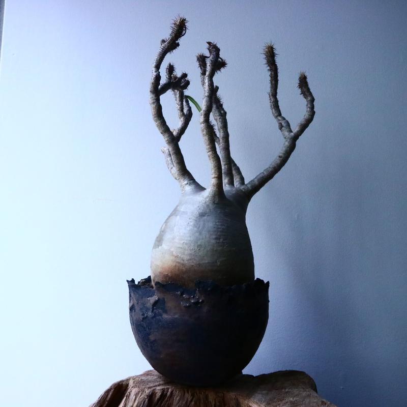 パキポディウム グラキリス No.039