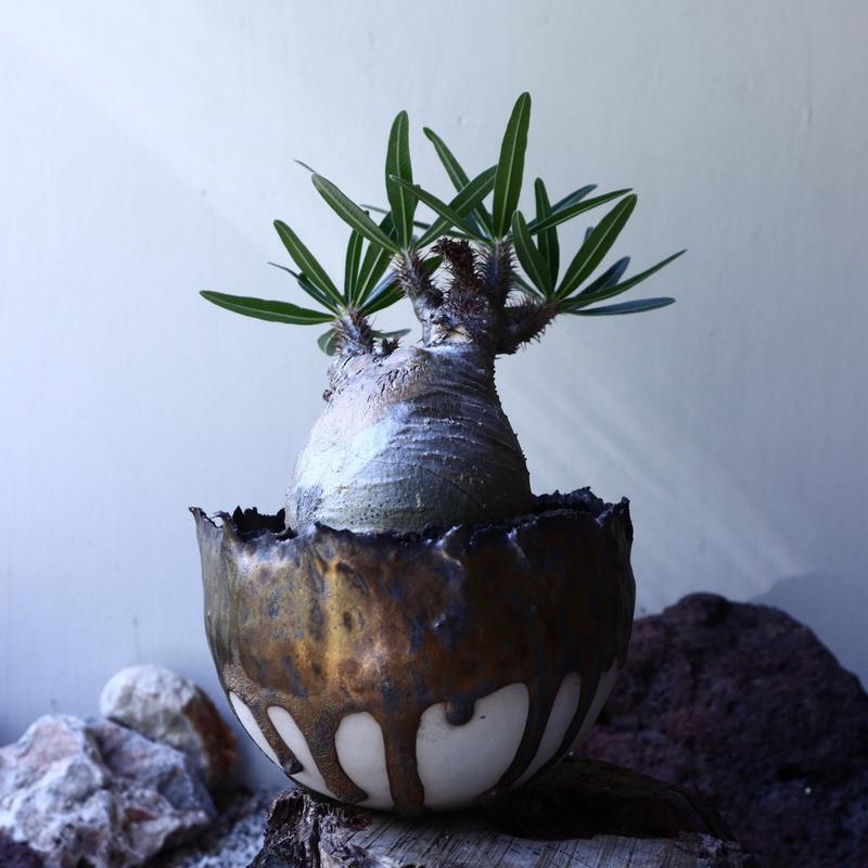 パキポディウム グラキリス Pachypodium rosulatum var. gracilius no.61612
