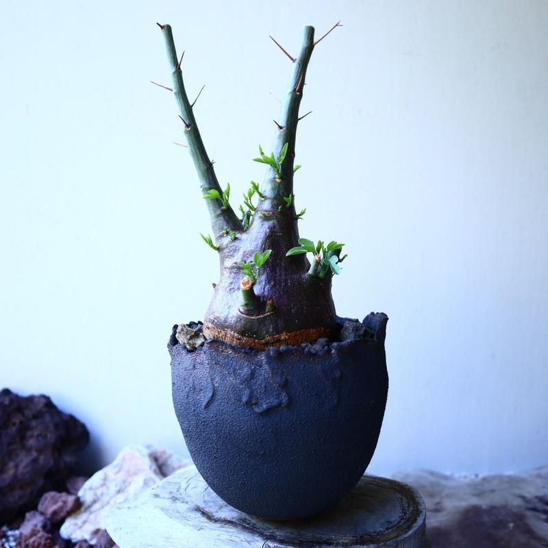 アデニア   スピノーサ   Adenia     spinosa    no.52608