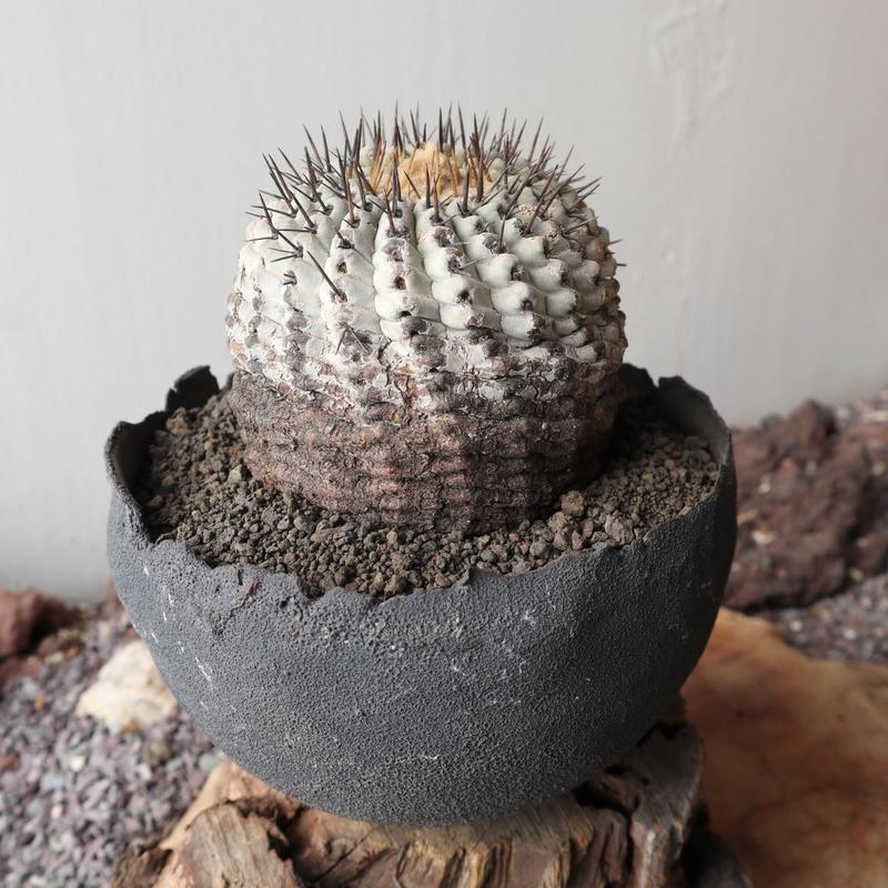 コピアポア 孤竜丸   no.004  Copiapoa cinerea var. columna-alba