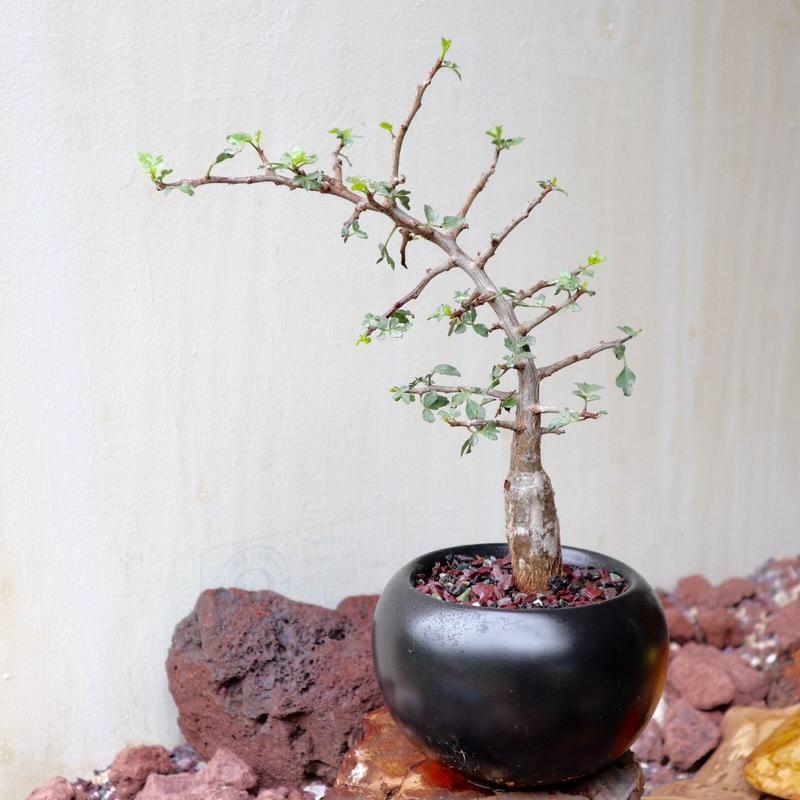ブルセラ   ファガロイデス  no.006     Bursera fagaroides