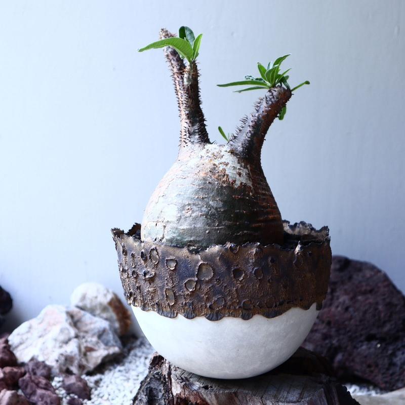 パキポディウム グラキリス Pachypodium rosulatum var. gracilius no.61609