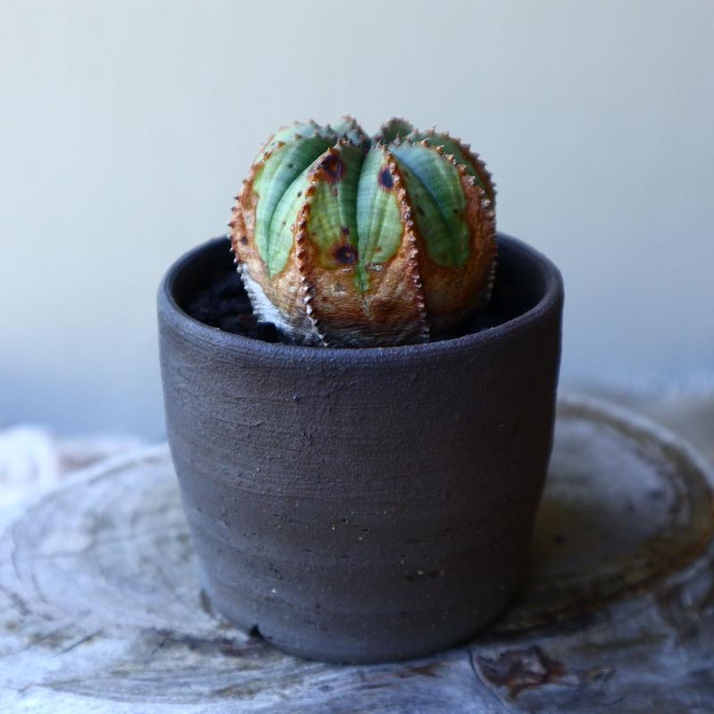 ユーフォルビア  バリダ  hyb   Euphorbia valida  hyb   no.60205