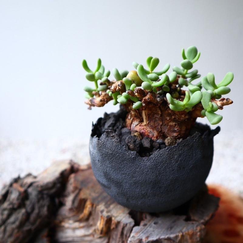 ケラリア  ピグマエア  no.032    Ceraria pygmaea
