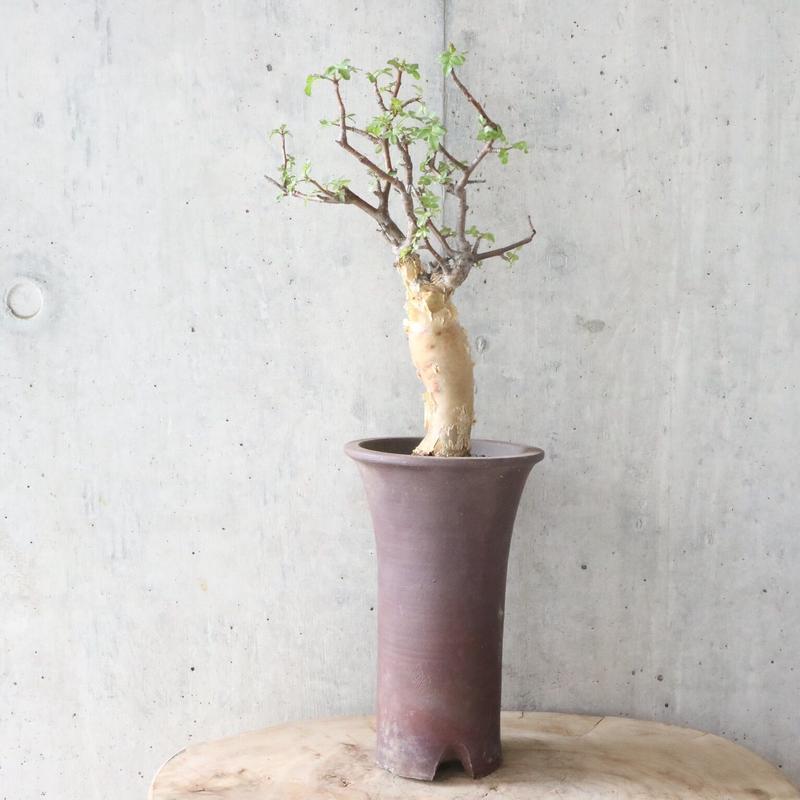 ブルセラ   ファガロイデス  no.005     Bursera fagaroides