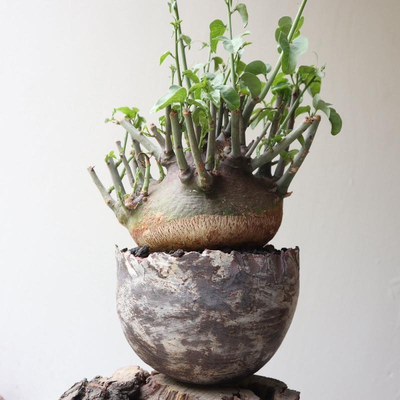アデニア     スピノーサ    no.004  Adenia     spinosa