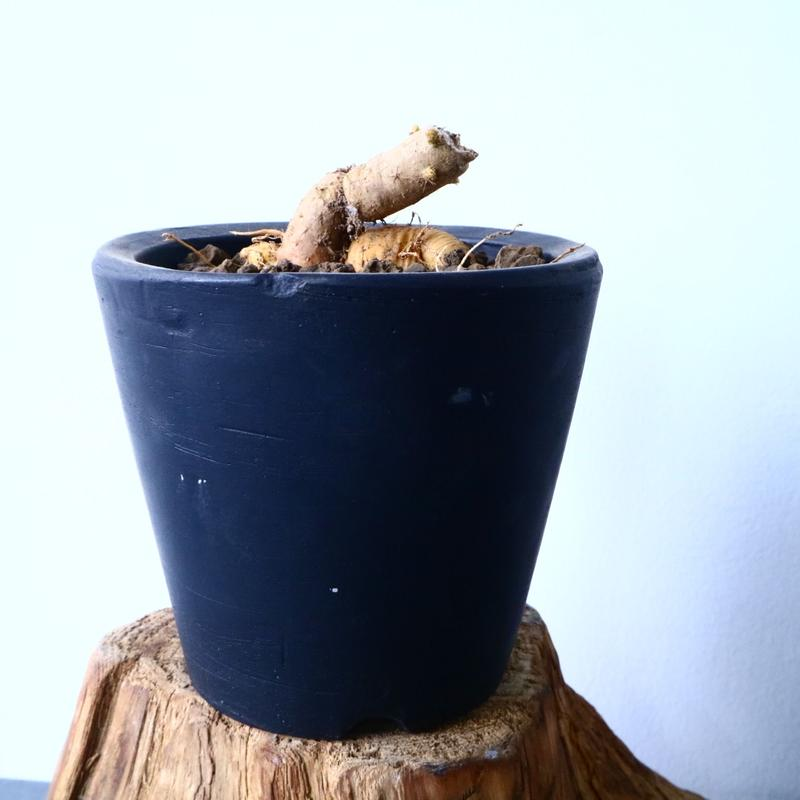 プテロカクタス ツベローサス   黒竜     Pterocactus tuberosus   No.31020