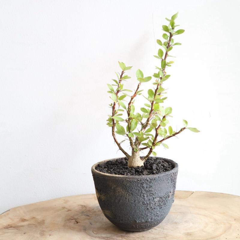 フォークイエリア   ファシクラータ   no.002  Fouquieria    fasciculata