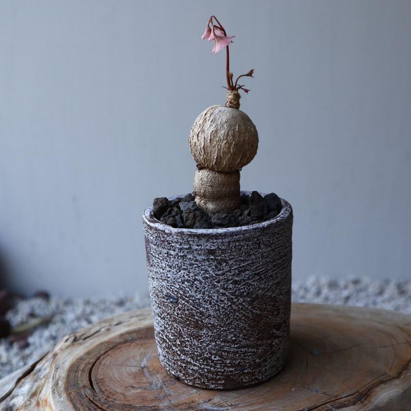 ユーフォルビア  アンボンゲンセ   Euphorbia sp.nova ゛ambongense゛ no.42114