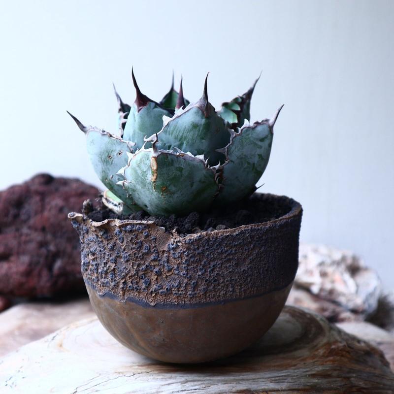 アガベ チタノタ ブラック&ブルー  Agave titanota black&bule    no.72107