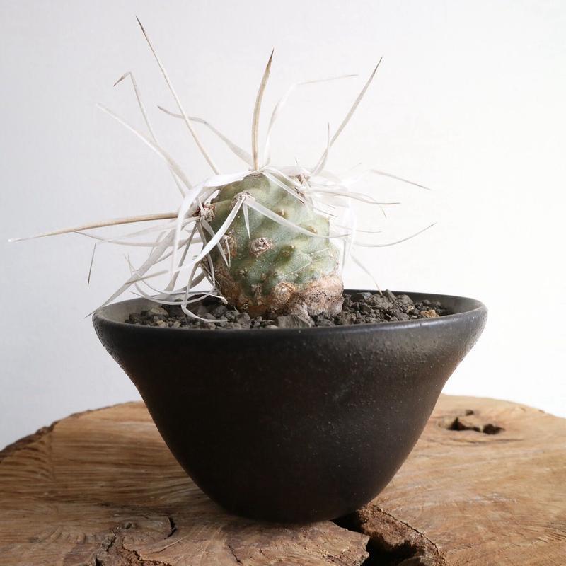 テフロカクタス   アーティキュラータス   武蔵野   no.003   Tephrocactus articulatus