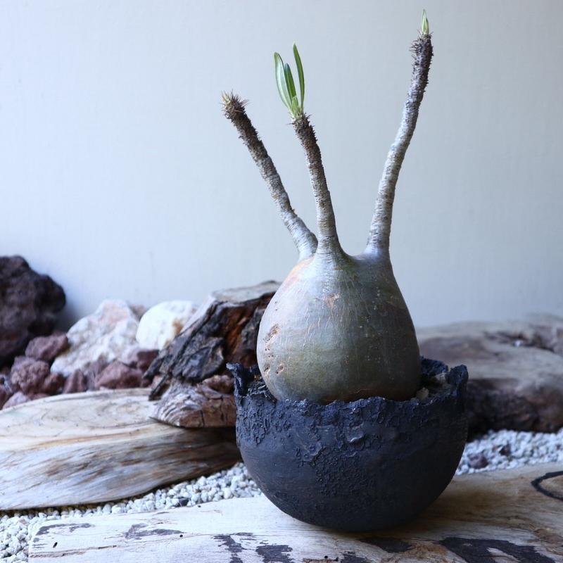 パキポディウム グラキリス Pachypodium rosulatum var. gracilius no.51936