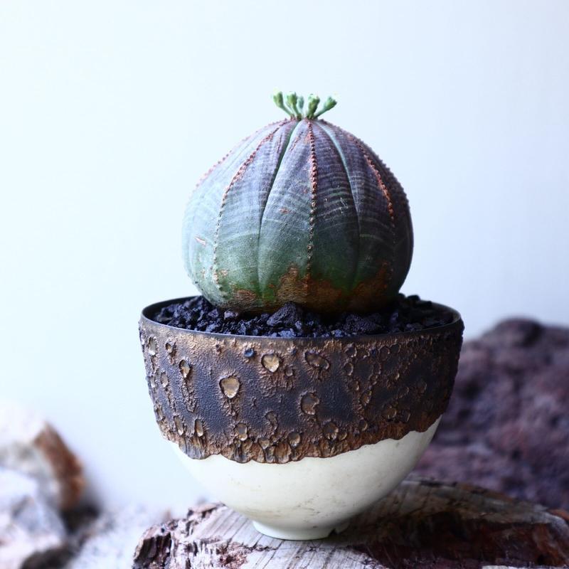 ユーフォルビア  オベサ  ♂  Euphorbia obesa no.61623
