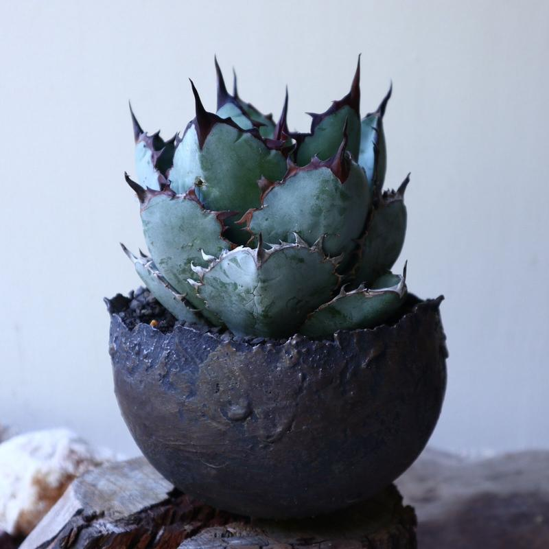 アガベ チタノタ ブラック&ブルー  Agave titanota black&bule    no.51907