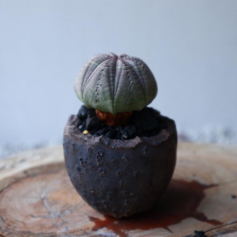 ユーフォルビア  オベサ     Euphorbia obesa   no.42104