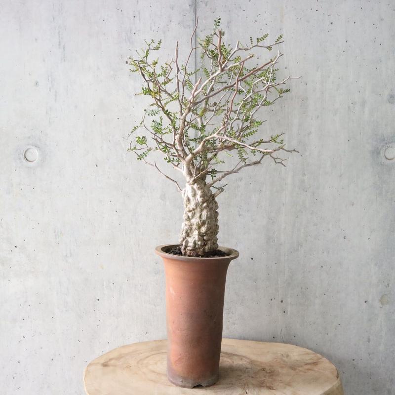 オペルクリカリア  パキプス    no.002   Operculicarya   pachypus
