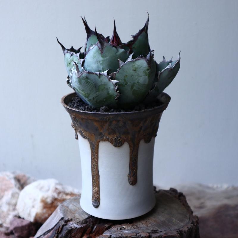 アガベ チタノタ ブラック&ブルー  Agave titanota black&bule    no.51909
