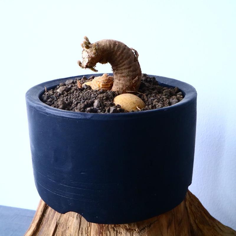 プテロカクタス ツベローサス   黒竜     Pterocactus tuberosus   No.31021