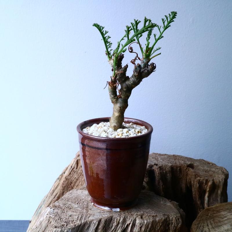ペラルゴニウム   カルノーサム   Pelargonium carnosum  No.013