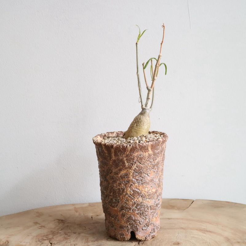 フォッケア   アングスティフォリア  no.001    Fockea angustifolia