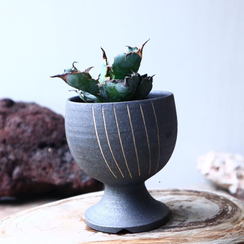 アガベ チタノタ ブラック&ブルー  Agave titanota black&bule    no.72116
