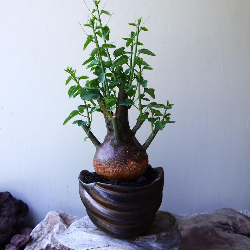 アデニア   スピノーサ   Adenia     spinosa    no.60233