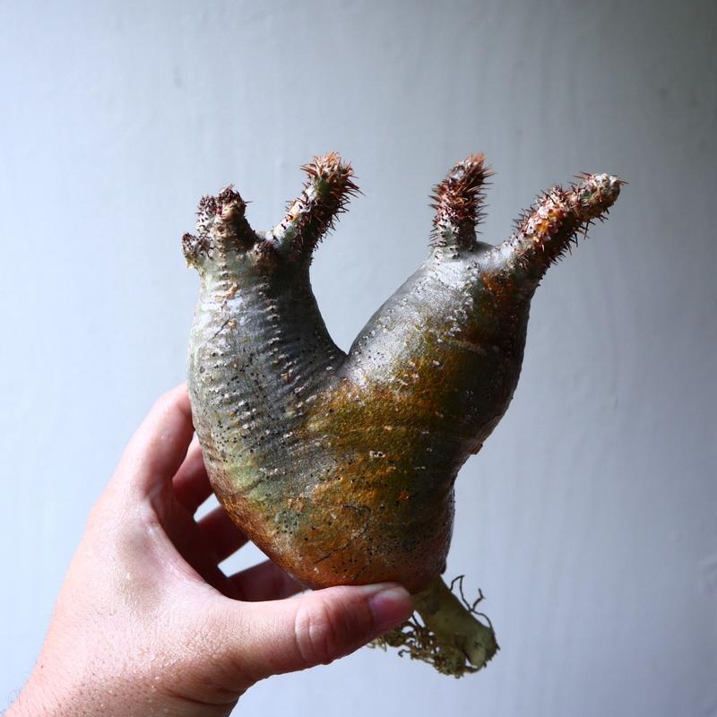 パキポディウム グラキリス 2頭 Pachypodium rosulatum var. gracilius no.70708