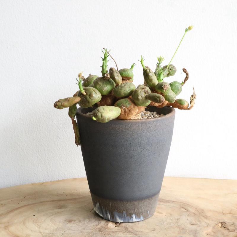 ユーフォルビア グロボーサ  no.006     Euphorbia globosa