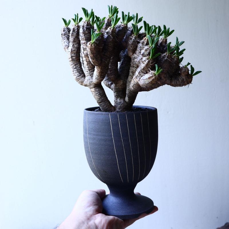 ユーフォルビア   ギラウミニアナ  Euphorbia guillauminiana  no.61621