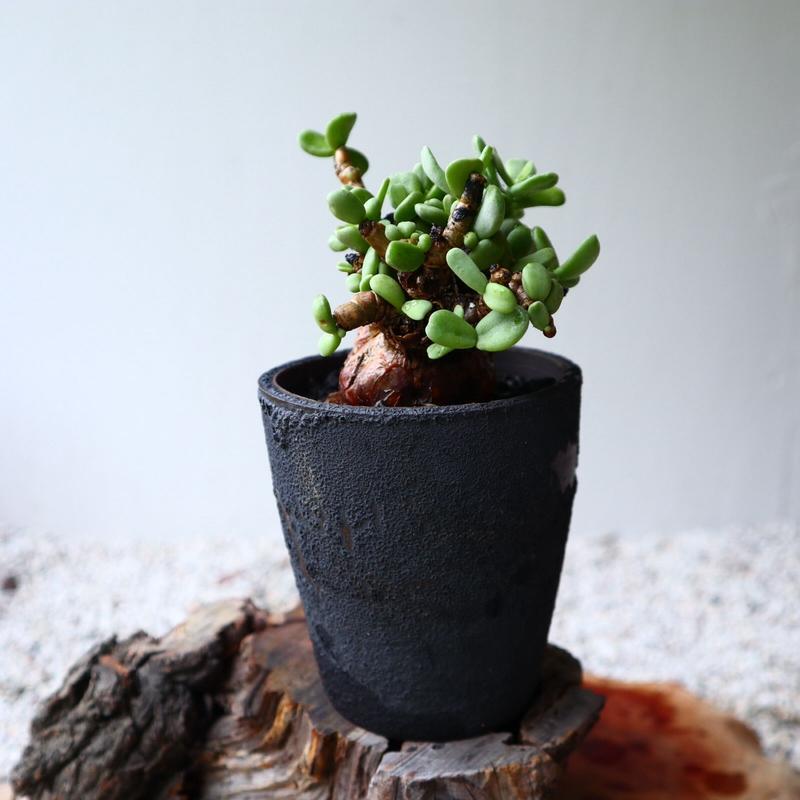 ケラリア  ピグマエア  no.031    Ceraria pygmaea