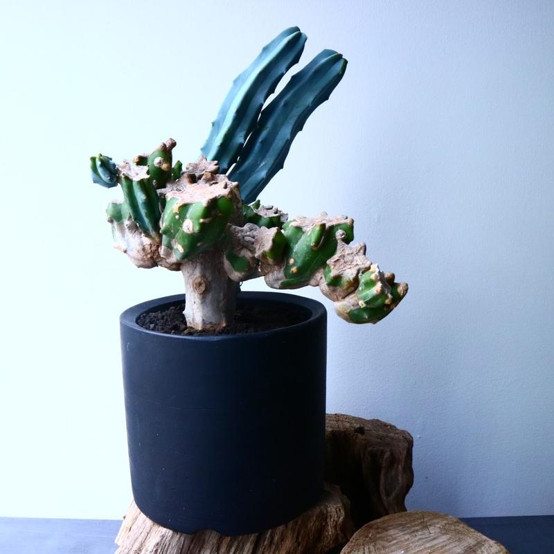 ミルチロカクタス  竜神木   Myrchillocactus geometorizans   No.035