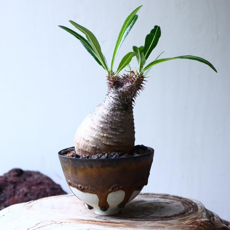パキポディウム グラキリス Pachypodium rosulatum var. gracilius no.71408