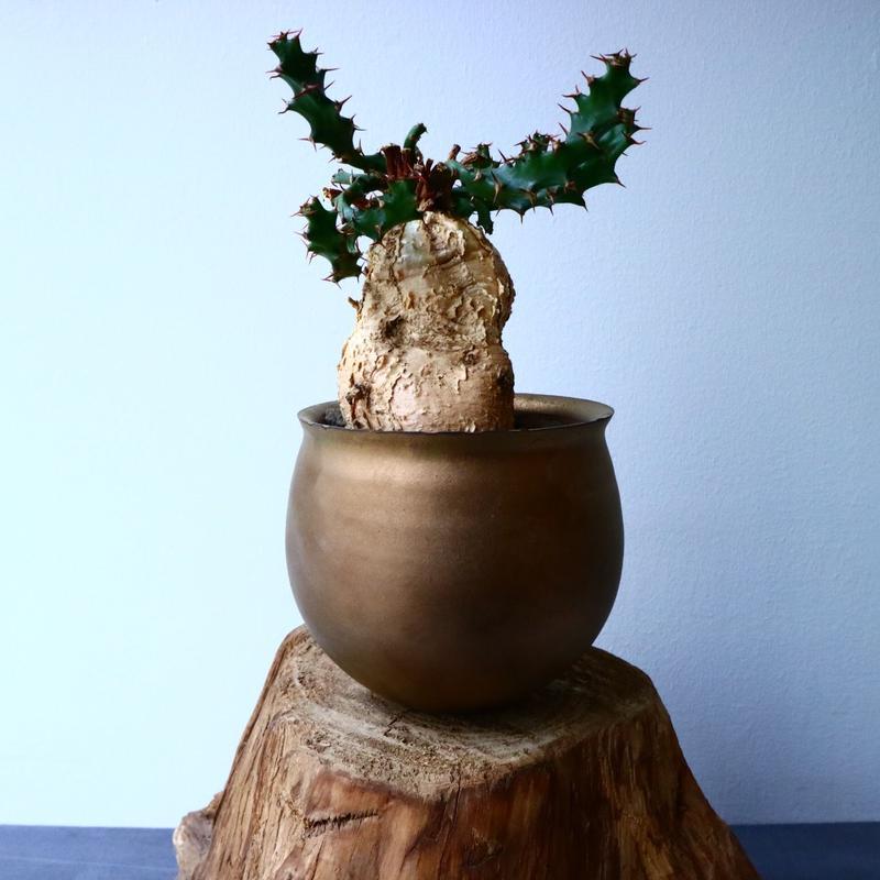 ユーフォルビア    スクアローサ    Euphorbia squarrosa  No.024