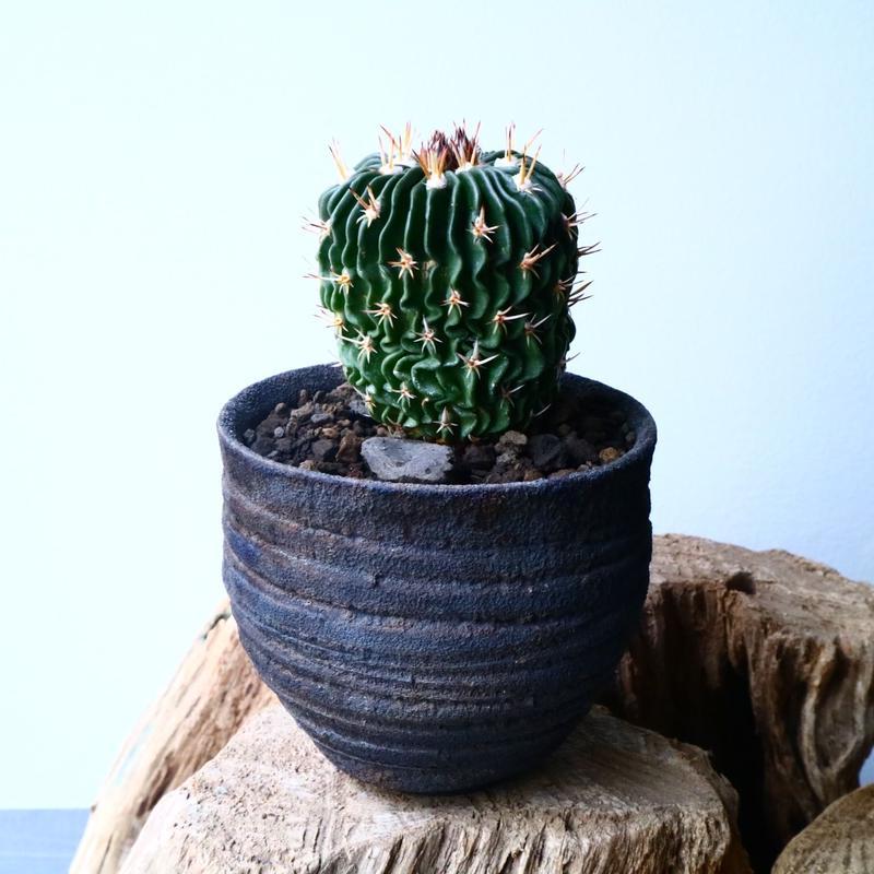 エキノフォスロカクタス  短刺縮玉  Echinofossulocactus zacatecasensis No.032