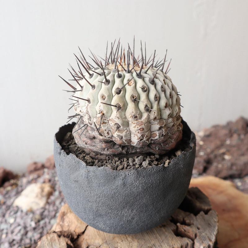 コピアポア 孤竜丸   no.003  Copiapoa cinerea var. columna-alba