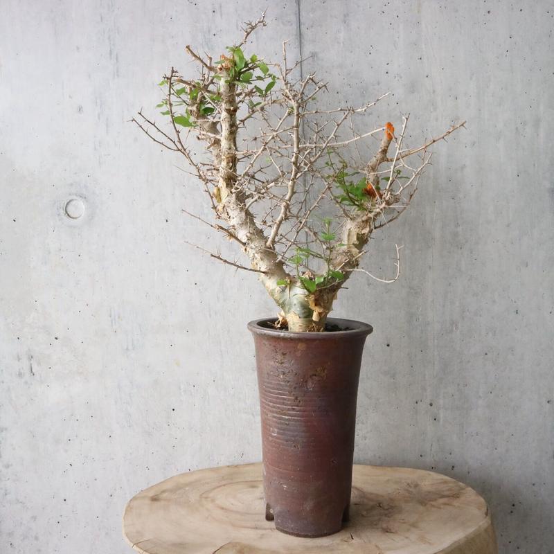 コミフォラ   シンプリキフォリア    no.002    Commiphora simplicifolia