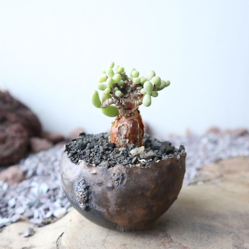 ケラリア  ピグマエア  no.020    Ceraria pygmaea