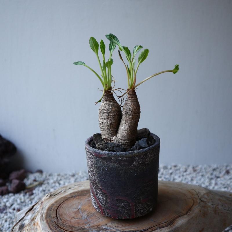 ユーフォルビア  フィッシュボーン   Euphorbia sp.nova ゙Fish Bone゙ no.42112
