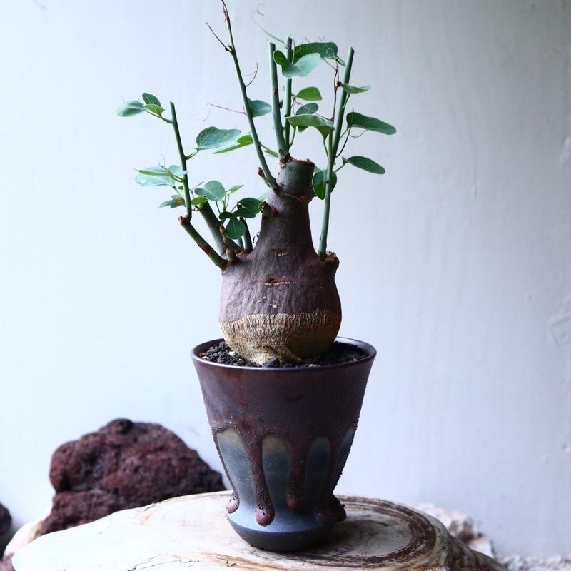 アデニア   スピノーサ   Adenia     spinosa    no.71427