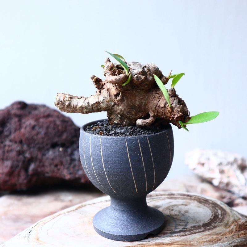 ユーフォルビア    イトレメンシス    Euphorbia itremensi  no.72120