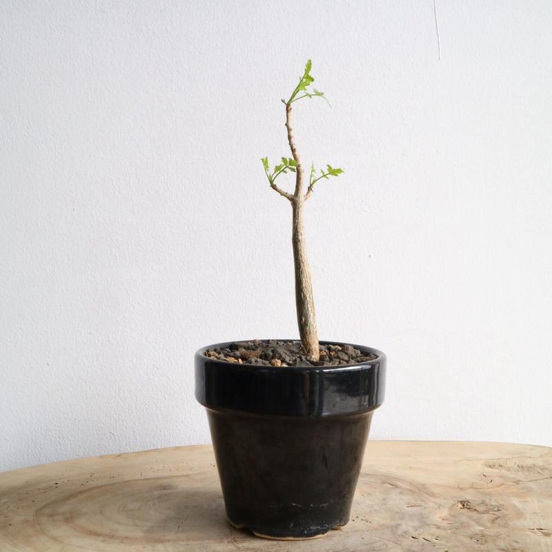ブルセラ   ファガロイデス  no.003     Bursera fagaroides