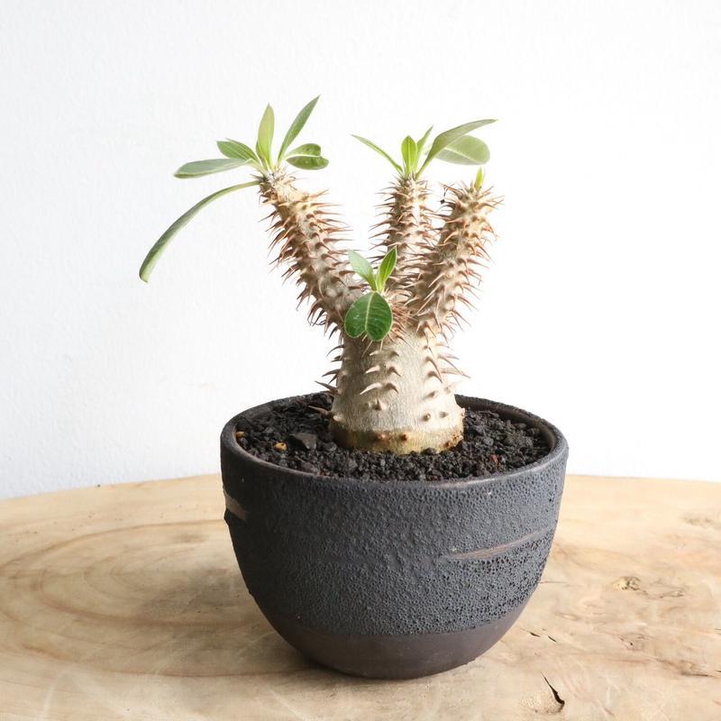 パキポディウム  マカイエンセ    no.002   Pachypodium Makayense