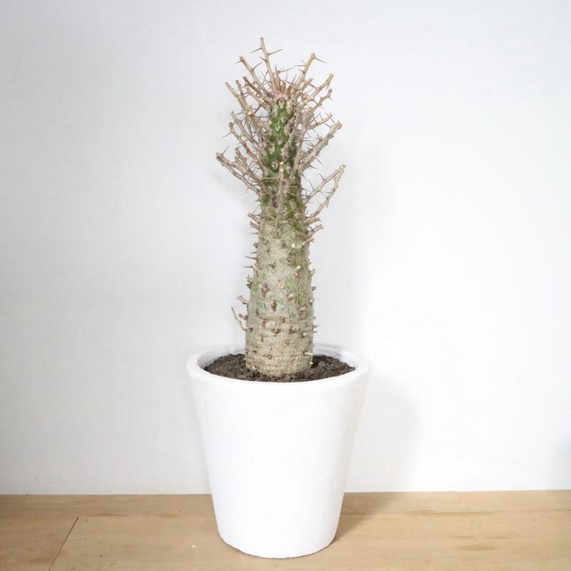 フォークイエリア   コルムナリス   no.003 Fouquieria columnaris
