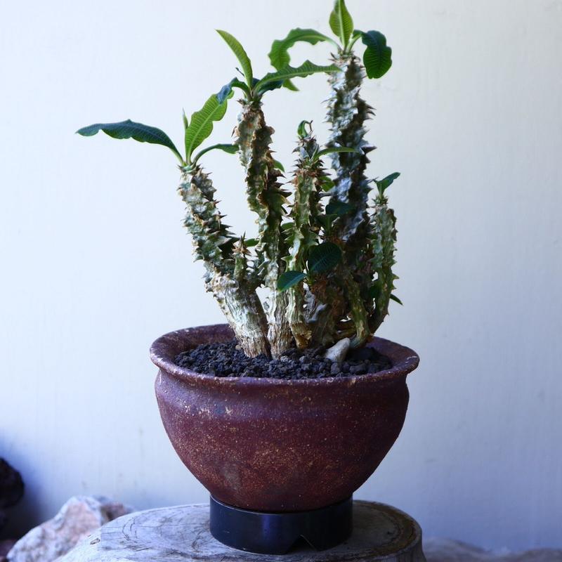 Euphorbia sp.nova Beraketa   no.60213