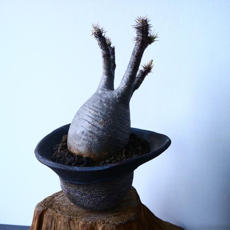 パキポディウム グラキリス  Pachypodium rosulatum var. gracilius   No.31029